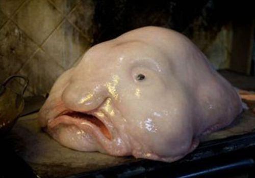 blobfish03.jpg