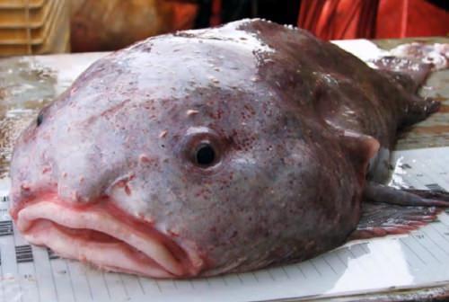 blobfish05.jpg