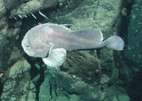 blobfish07live.jpg